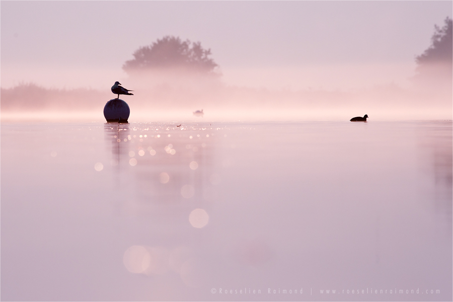 mist fog sunrise water silhouettes Bird photography Black-headed Gull Chroicocephalus mist ridibundus