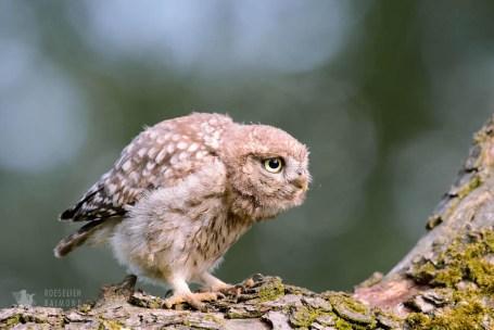 Little Owl Athene noctua Bird photography prey mouse