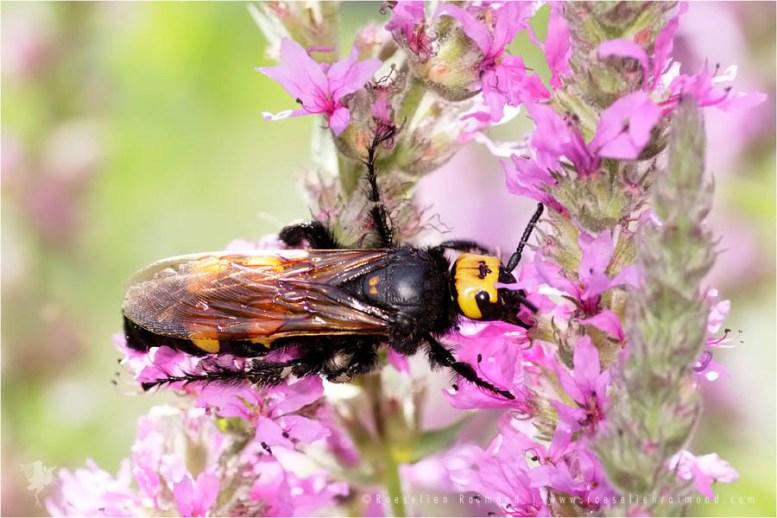 Mammoth Wasp Megascolia maculata flavifrons