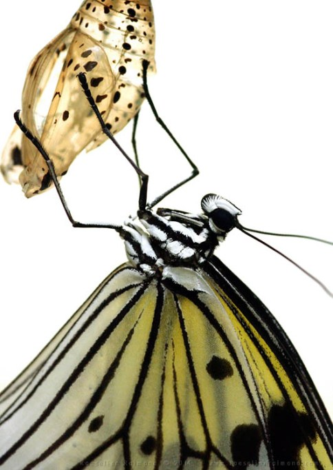 Rice Paper Butterfly Idea leuconoe insect macro