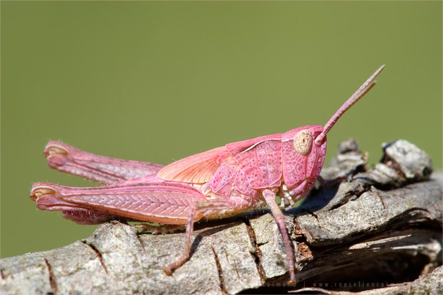 pink erytrism meadow grasshopper Chorthippus parallelus