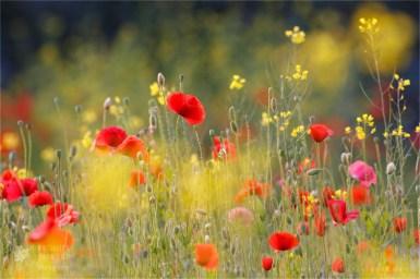 poppy_field._fineart