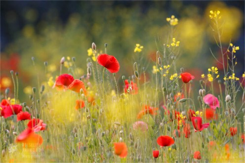 Fine art nature photography poppies