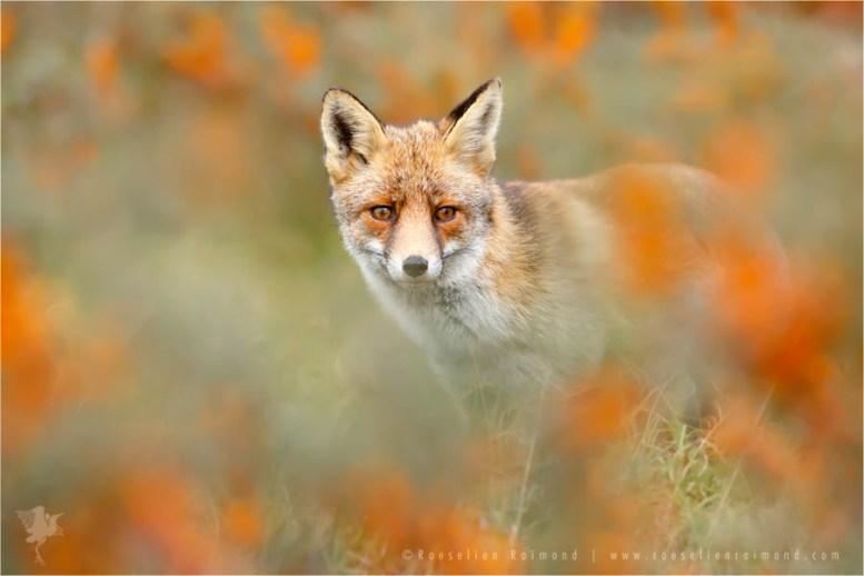 fox vulpes fuchs zorro renard autumn berries mood buckthorn wildlife