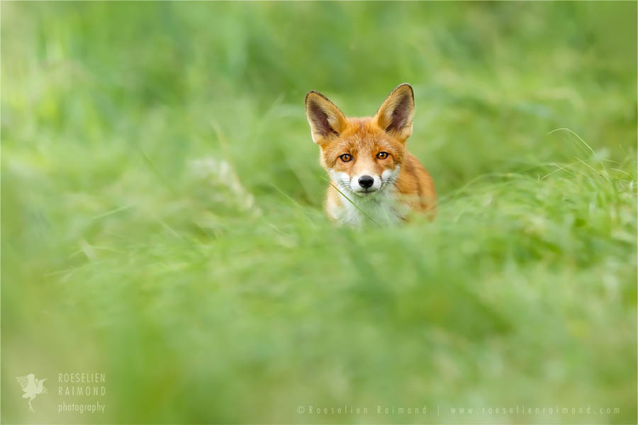 fox vulpes fuchs zorro renard juvenile grass
