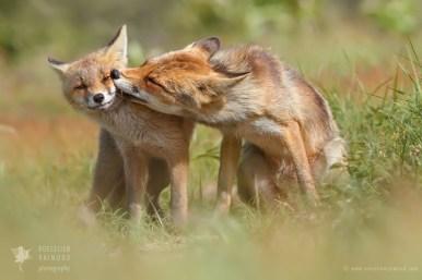 Red Fox Love