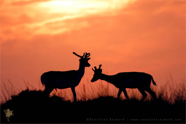 wildlife Fallow Deer Silhouette dama dama sundowo sunset wildlife