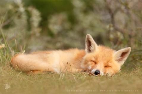 wildlife red fox vulpes vulpes kit cub cute young wild animal