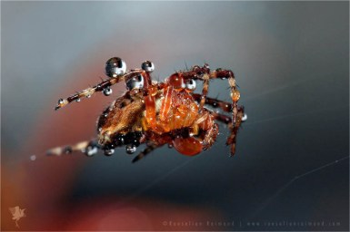 macro photography European garden spider, diadem spider, cross spider, or cross orbweaver Araneus diadematus dw drops morning sunrise