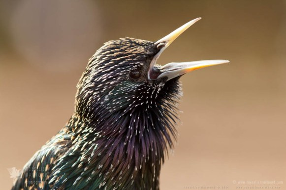 Common Starling Sturnus vulgaris Bird photography