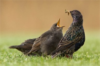 Common Starling Sturnus vulgaris youngster nestling baby cute Bird photography