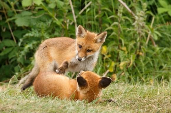 fox kits fox kit cub vulpes vos zorro renard fuchs cute playing wild animal