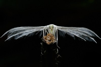 White Plume Moth (Pterophorus pentadactyla) Sneeuwwitte vedermot, vijfvingerige vedermot of witte vedermot