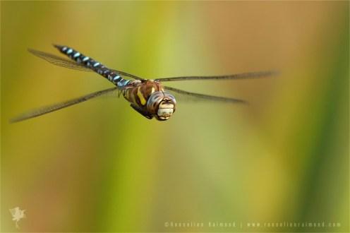 _MG_1828_dragonfly_flight