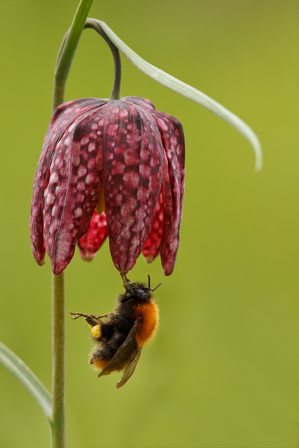 Pink Snake's Head fritilary and a dangling bumblebee