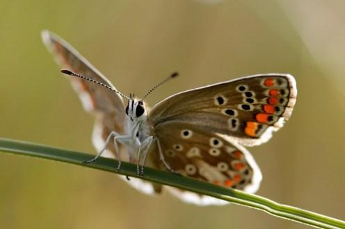 Brown Argus Aricia agestis Bruin Blauwtje