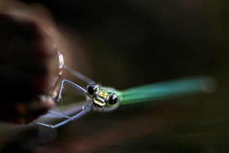 Banded Demoiselle (calopteryx splendens) Weidebeekjuffer