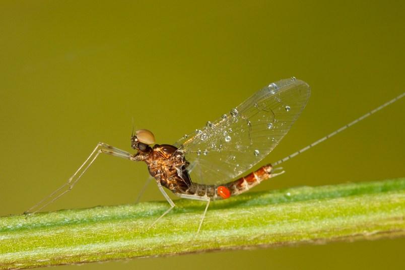 Unknown mayfly Ephemeroptera sp. Een dagsvlieg/ haft