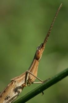 Nosed Grasshopper Acrida hungarica