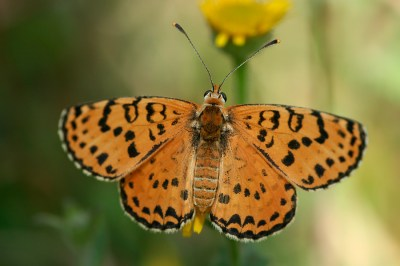 Spotted Fritillary Red-band Fritillary Melitaea didyma Tweekleurige parelmoervlinder