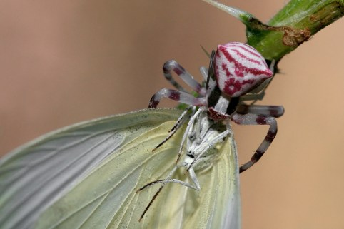 Crab spider Thomisus onustus Bloemkrabspin