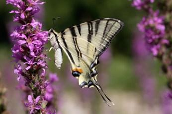 Scarce Swallowtail / Sail Swallowtail / Pear-tree Swallowtail Southern Swallowtail Iphiclides podalirius Koninspage