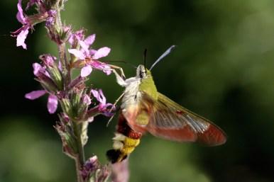 Broad-bordered bee hawk-moth Hemaris fuciformisGlasvleugel Pijlstaartvlinder