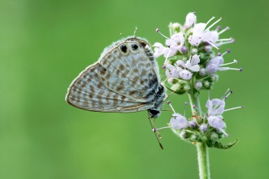 Lang's Short-tailed Blue or Common Zebra Blue Leptotes pirithous)