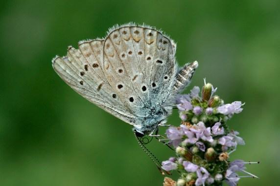 Amanda's Blue Polyommatus amandus Wikkeblauwtje