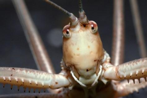 Predatory Bush Cricket Saga Hellenica Sabelsprinkhaan