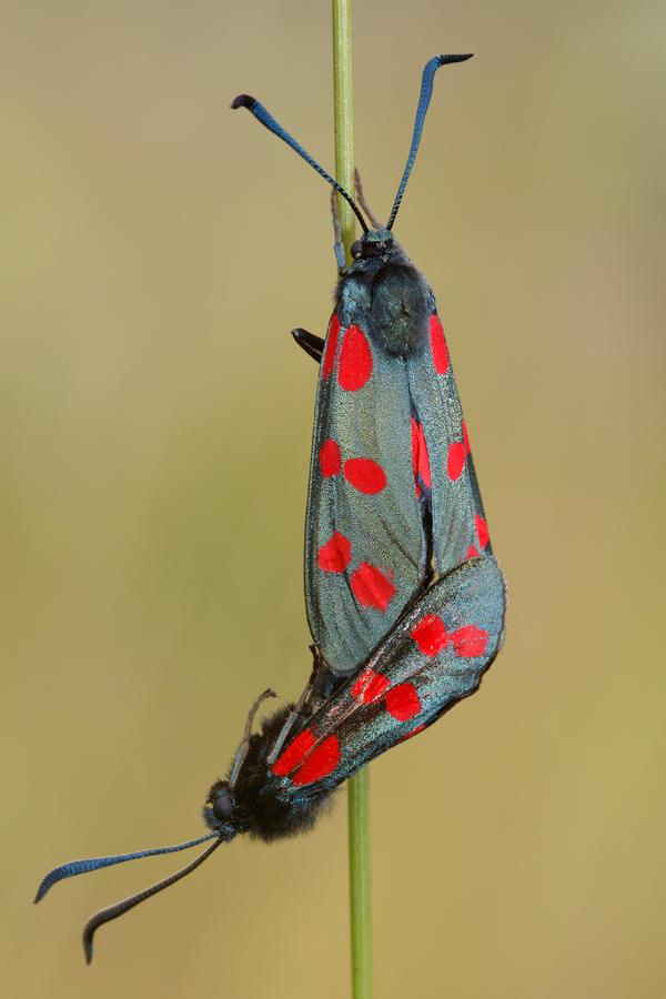Mating Six-spot burnets Zygaena filipendulae Sint-jansvlinder of bloeddropje