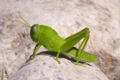 Egyptian Locust Anacridium aegyptiumBloemkoolsprinkhaan