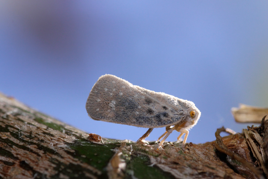 Unknown Leafhopper
