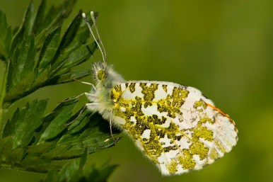 Orange tip Anthocharis cardamines oranjetipje