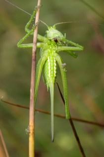 Great Green Bush-Cricket Tettigonia viridissima Grote groene sabelsprinkhaan