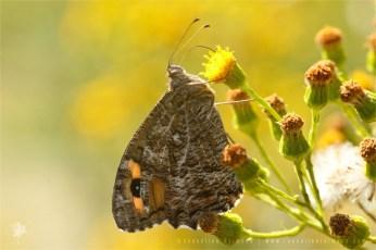 Grayling Hipparchia semele Heivlinder