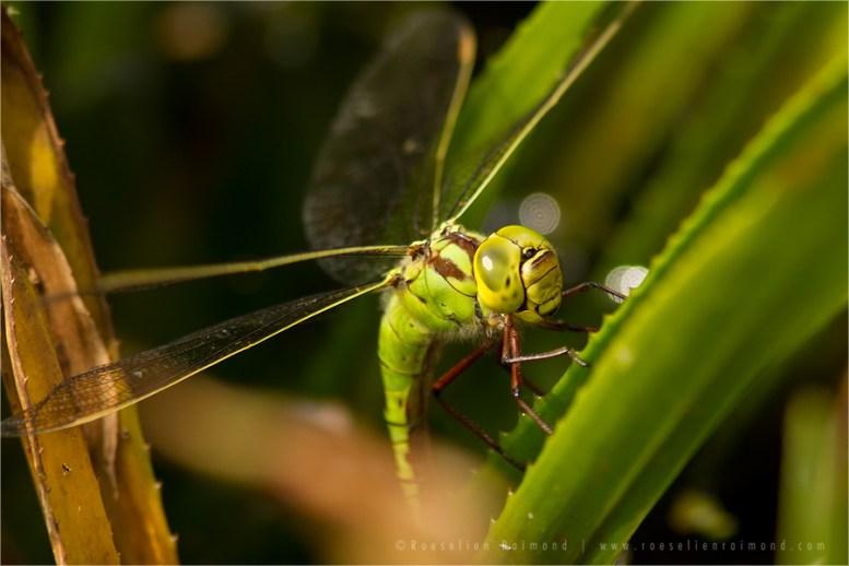 Aeshna viridis green hawker groene glazenmaker