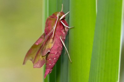 Elephant Hawk-moth Deilephila elpenor Groot Avondrood