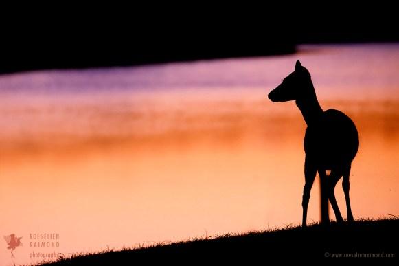 Fallow Deer Silhouette at Sundown