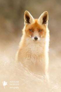 Fox backlight fur