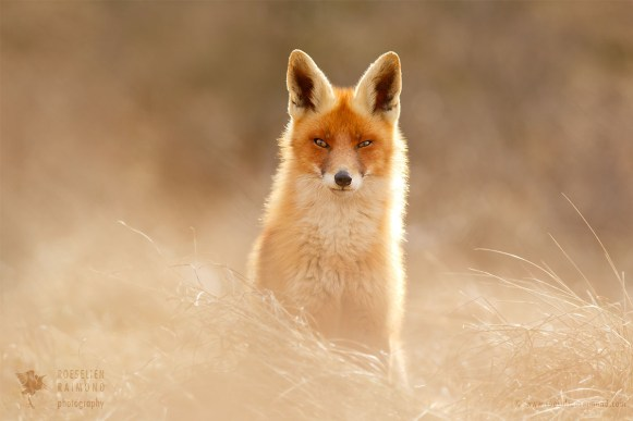 One of the most beautiful foxes ever...(03 2013- 01 2016)