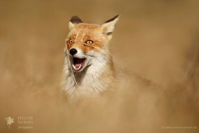 Funny FoxFunny looking young fox