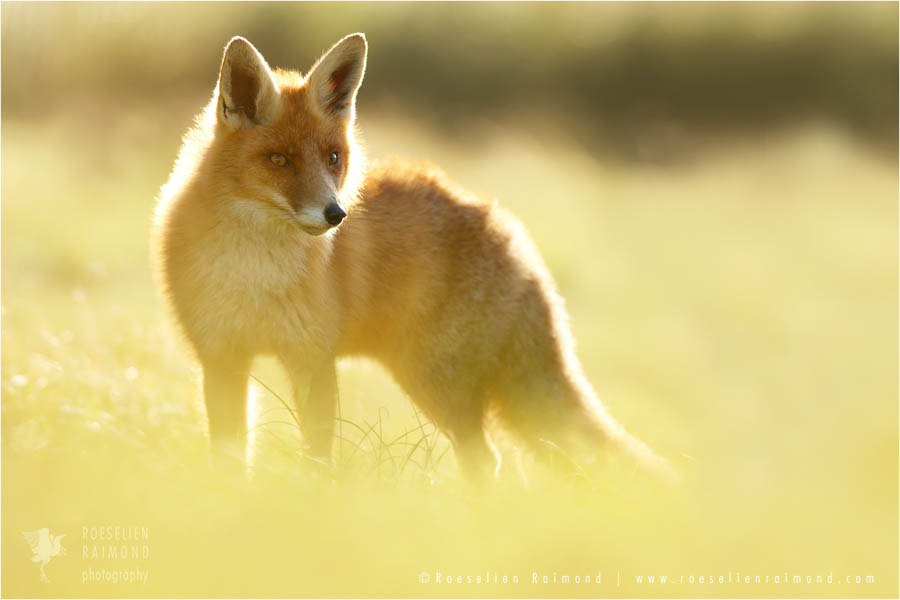 fox_light