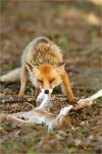 red Fox devouring a prey