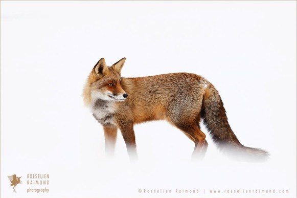 Red fox in the winter