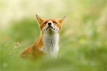 Zen fox series: a relaxing red fox