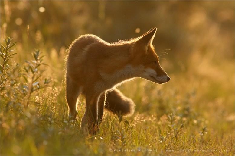 backlight rim fox vulpes fuchs zorro renard
