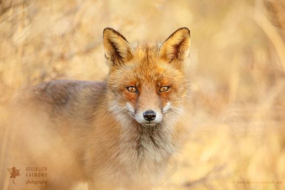 Räven - Fox