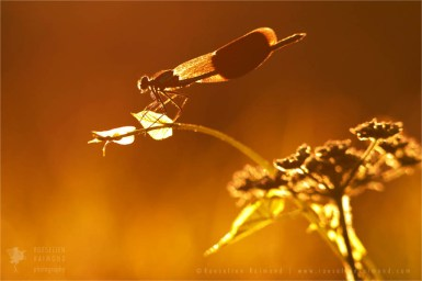 Banded Demoiselle silhouette at sunset
