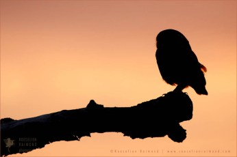 Little Owl silhouette at sunset